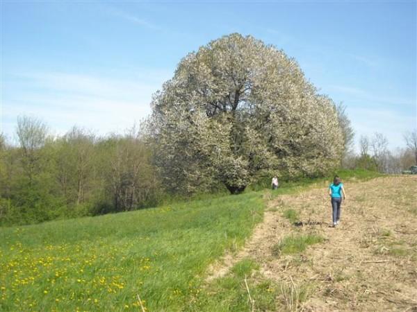 Albero monumentale ciliegio selvatico prunus avium for Albero ciliegio