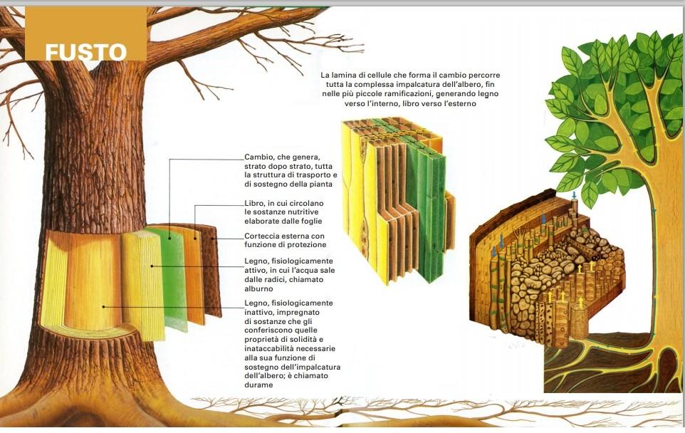 Fusto della pianta molise alberi for Pianta esterna